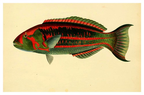 013- Scarus GeorgII-A selection … the fishes …of Ceylon-1834 John B. Whitchurch