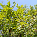 Small photo of Alnus incana ssp. rugosa