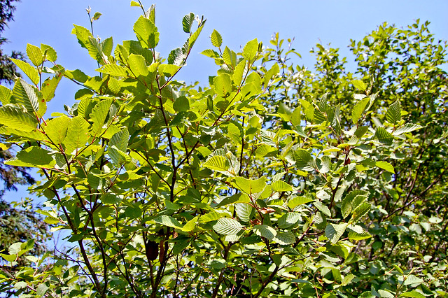 Header of Alnus incana ssp. rugosa