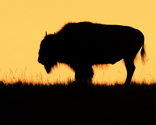 sunset buffalo northdakota badlands plains americanbison theodorerooseveltnationalpark ©gregness