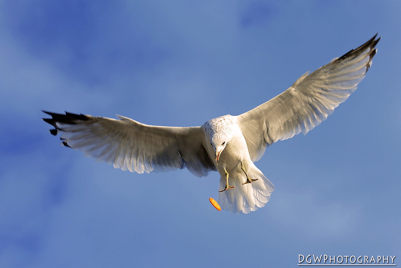 Seagull Shoot