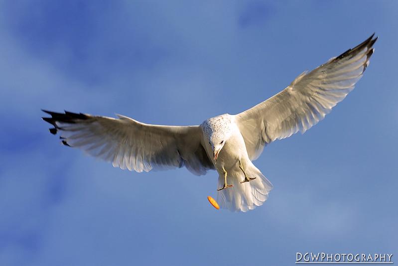 Seagull Shoot