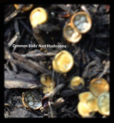 Common Birds's Nest Mushroom