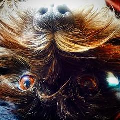 Hi. #quornflour #umlaut #schnauzer #schnauzersofinstagram #love #face #gravity #dogsofinstagram