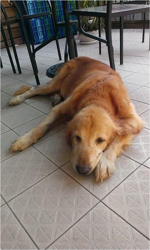 「求救」新竹市中華路二段7-11~有隻迷路的黃金獵犬~有人遺失黃金嗎?有人可以幫助牠嗎?謝謝您!20140831