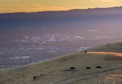 San Jose Cows