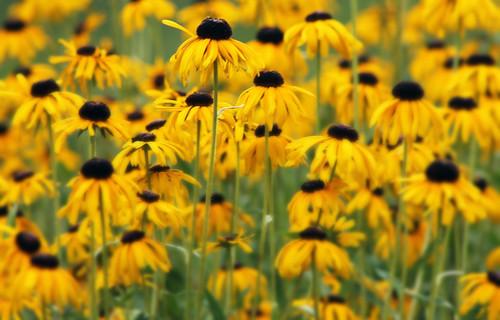flowers summer nature yellow august yellowflower blackeyedsusans flowerpetals