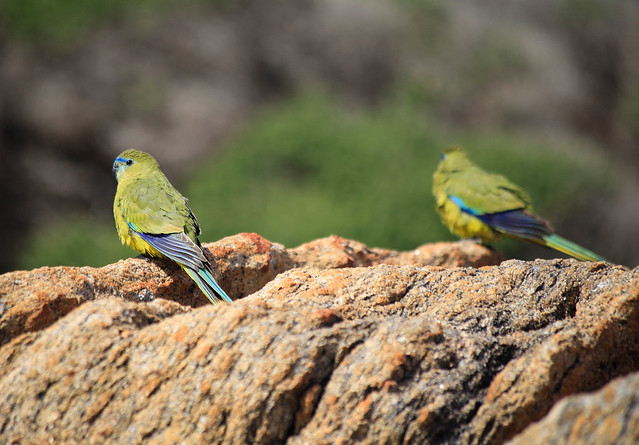Rock Parrots, South West Australia