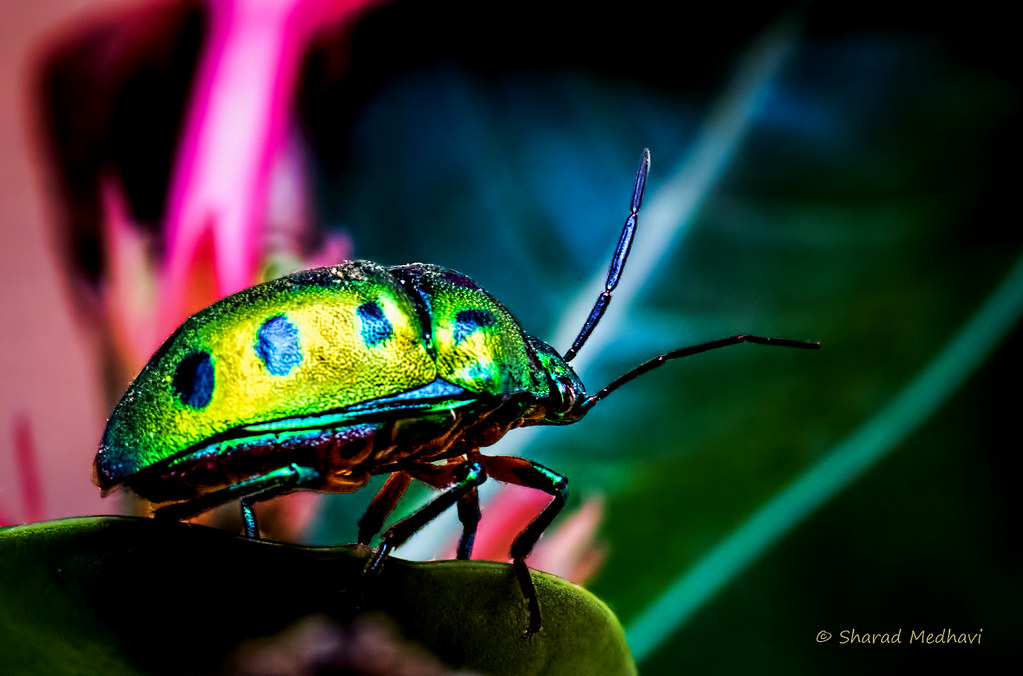 Indian Metallic Bug