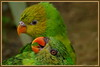 Lori papegaaien