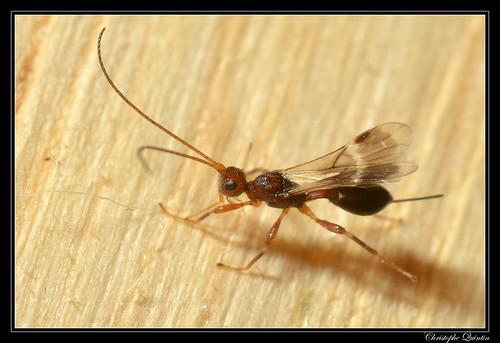 Braconidae/Doryctinae (Spathius sp. ?)