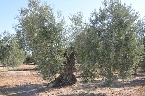AionSur 15063635285_87e2cec67b_d Arranca el verdeo con una cosecha irregular que se adelanta al inicio de septiembre Medio Ambiente El Verdeo se adelanta