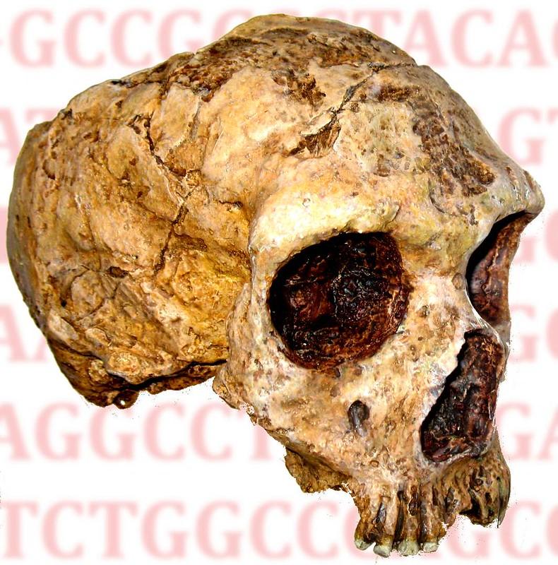 Homo_neanderthalensis_anagoria2