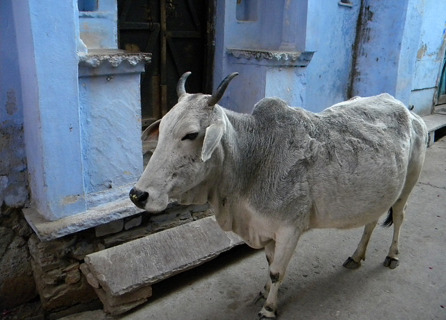 Sacred Cow in Beautiful Blue Bundi