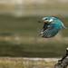 Martin-pêcheur d'Europe ( Alcedo atthis ) - Common Kingfisher #908