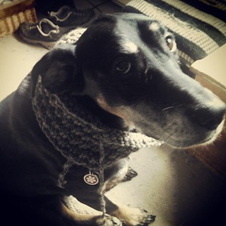 Day 25 #SoakPhotoChallenge Finished. My latest finished object, quickly modeled by Lola. Haven't even woven in the ends yet. #getyourkniton #cowl #handknit #dogstagram #instadog #dobermanmix #adoptdontshop #knitting