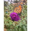 Monarch is holding out up here in the northeast