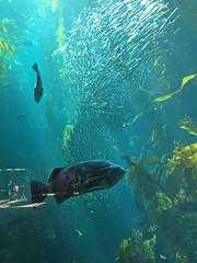 Monterey Bay Aquarium - Kelp Forest 1
