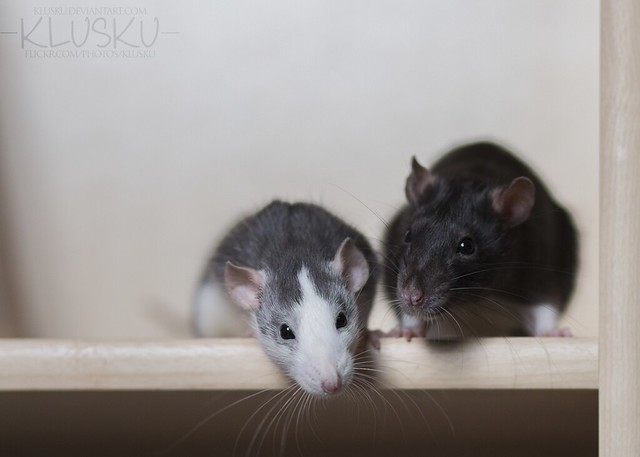 13/52 weeks of rats