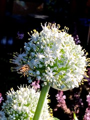 Honeybee Foraging On Partially Opened Flower Umbel -  Edible White Passover Onions <<>> IMG_0966 - Version 3
