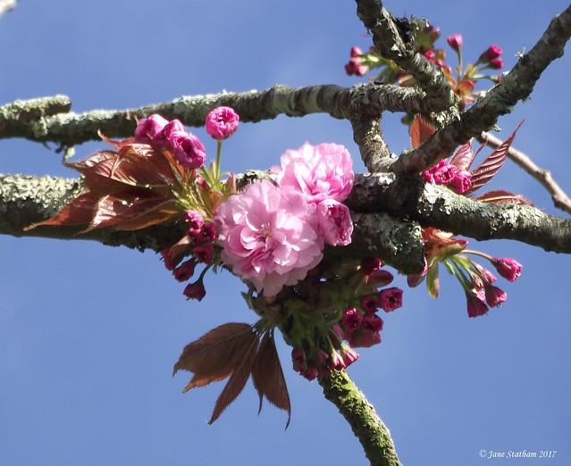 Cherry Blossom. [Explored 31.3.17]., Fujifilm FinePix S1600