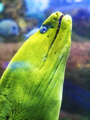 Memphis Zoo 08-31-2016 - Green Moray Eel 2