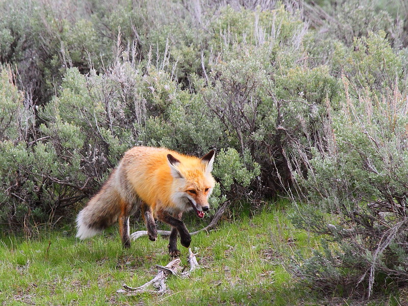 IMG_0387 Red Fox