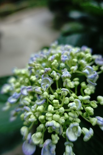 The flowers of Hydrangea in commuting 2014/06 No.7.