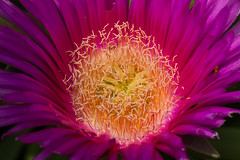 plant(0.0), plant stem(0.0), dorotheanthus bellidiformis(1.0), annual plant(1.0), flower(1.0), karkalla(1.0), macro photography(1.0), flora(1.0), close-up(1.0), ice plant(1.0), pink(1.0), petal(1.0),