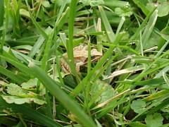 Béka a fűben