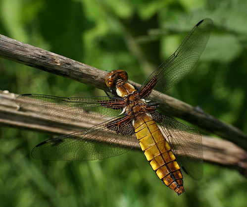 Broad-bodied Chaser Libellula depressa Tophill Low NR, East Yorkshire June 2014