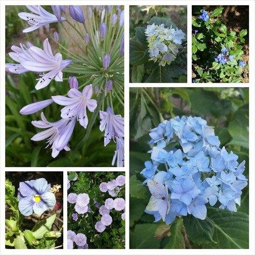 My blues,  blooming now #summer #flowers #gardening #blue