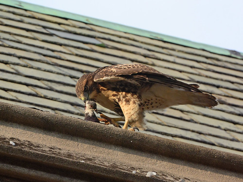 Juvenile Cathedral Hawk & Prey - 3962