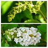 """""""Nature often holds up a mirror so we can see more clearly the ongoing processes of growth, renewal and transformation in our lives."""" ~ Unknown ~ Transformation in my oakleaf hydrangea. For the rest of the story see: http://bit.ly/1oyHLAQ"""