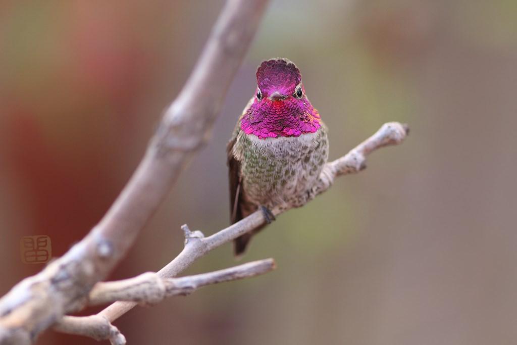 Anna's Hummingbird 190614-3