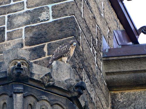 Cathedral Hawk Fledgling (2695)