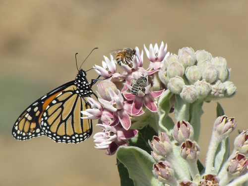A monarch butterfly, a honey bee and an alfalfa leafcutter bee gather nectar from a showy milkweed. Photo by John Anderson of Hedgerow Farms.