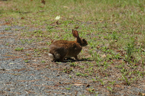 Rabbit, Marsh Trail, Chincoteague NWR