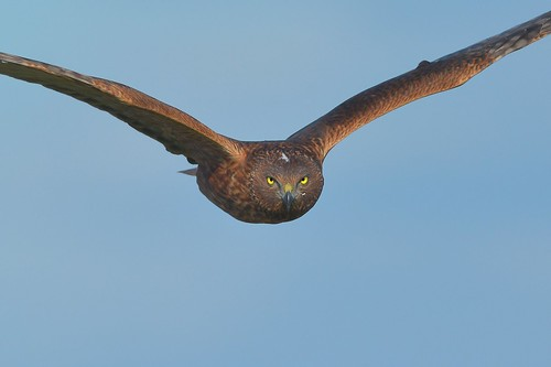 Swamp Harrier, on target