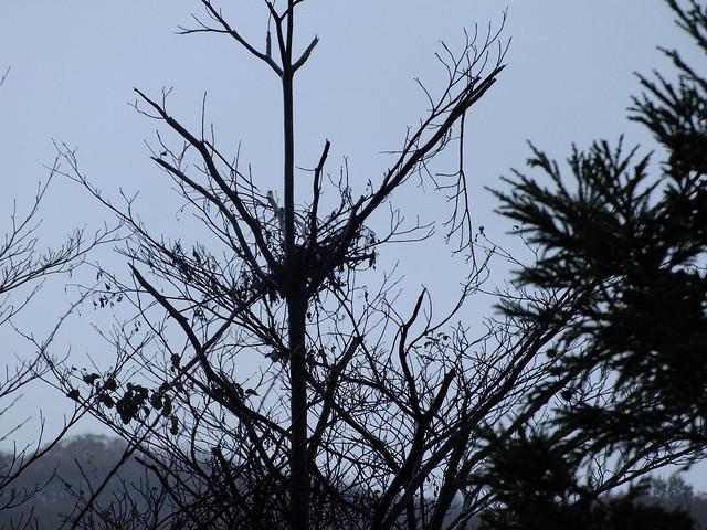 おーいの丘で熊棚を発見.幹をよく見ると,クマの爪痕がついていた.