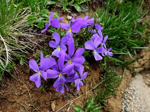 Viola calcarata=Pensée éperonnée