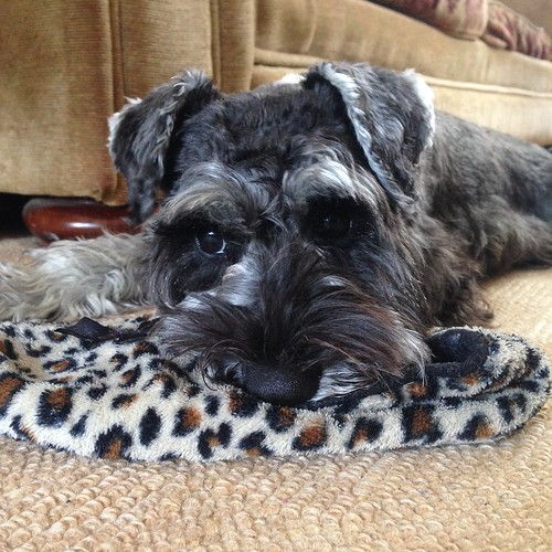 Turtle the Miniature Schnauzer