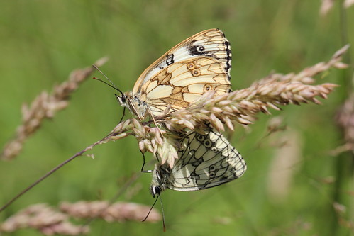 mating marbled whites (explored)