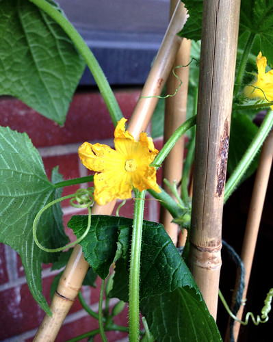 Male cucumber blossom