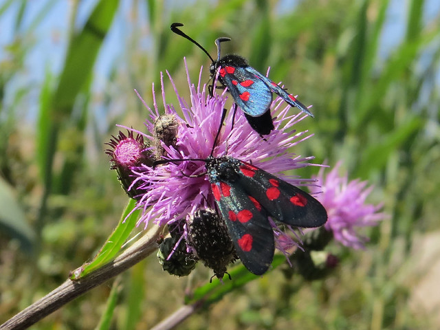 Zygaena sp [Narrow-bordered Five-spot Burnet]
