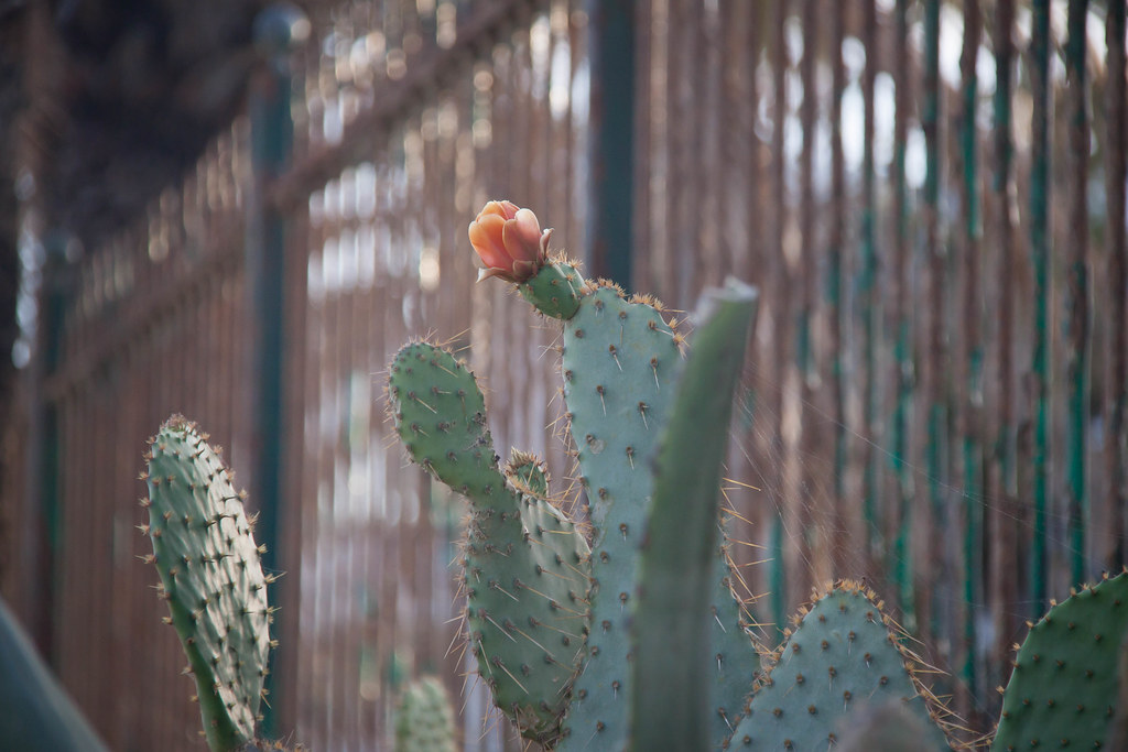 Flowering Cactus and Fence in Marbella, Spain