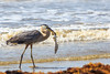 Great Blue Heron (Ardea herodias) hunting
