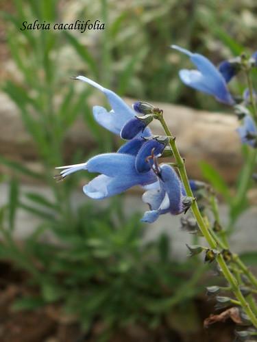 Salvia cacaliifolia