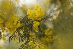 Acacia cardiophylla