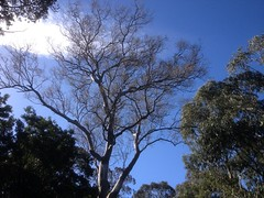 River red gum, Maranoa Gardens
